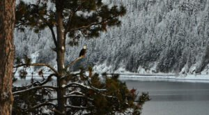 See Hundreds Of Bald Eagles Among The Trees This Winter At Lake Coeur d'Alene In Idaho