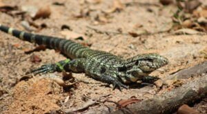 Lizards The Size Of Dogs Are Invading Texas In Droves