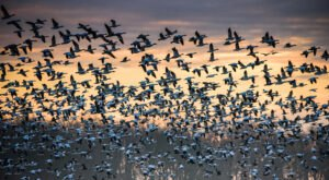 Keep Your Eyes To The Skies, As Hundreds Of Thousands Of Snow Geese Will Fly Across Colorado This Spring