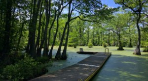 Explore A True Hidden Gem In North Carolina At Merchants Millpond State Park