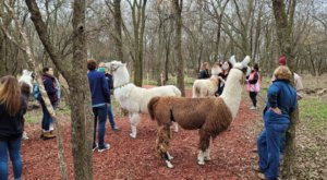 Hike With Llamas At ShangriLlama In Texas