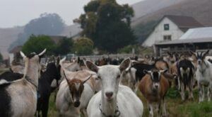 Visit With Baby Goats And Take Home Farmstead Cheese When You Visit Harley Farms In Northern California