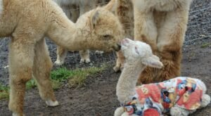 Kismet Acres Alpaca Farm In West Virginia Makes For A Fun Family Day Trip