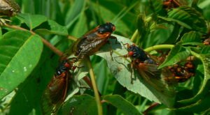 This Spring, Millions Of Cicadas Are Set To Emerge In Illinois After 17 Years Underground
