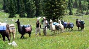Hike With Wallowa Llamas At Spring Creek Of Hells Canyon In Oregon