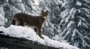 There's Been A Rise In Mountain Lion Encounters In Idaho This Winter After Heavy Snow Storms