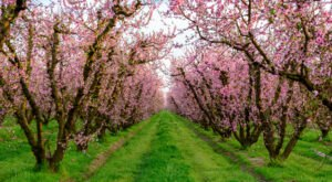 This February, Don't Miss A Drive Along The Blossom Trail In Northern California That's Filled With Blooming Fruit Trees