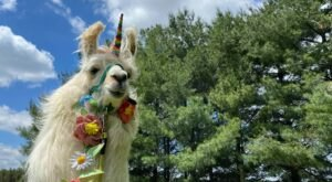 There's A Bed and Breakfast On This Llama Farm In Iowa And You Simply Have To Visit