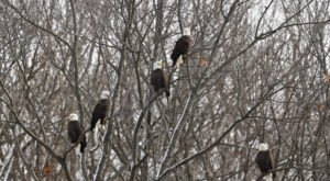Thousands Of Bald Eagles Flock To The Mississippi River In Iowa And You've Got To See It With Your Own Eyes