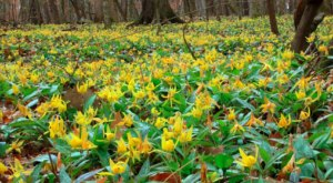Get Lost In Millions Of Beautiful Trout Lily Flowers At Wolf Creek Preserve In Georgia