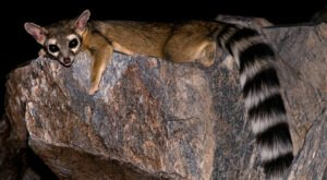 The Incredibly Rare Ringtail Is Starting To Make An Appearance Around Colorado