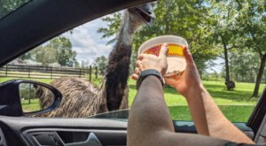 Go On A Realistic Safari As You Make Your Way Through Eudora Farms In South Carolina