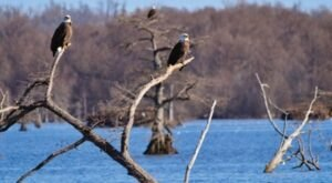 Every Year, One Of The Largest Populations Of Bald Eagles In The Country Calls Reelfoot Lake In Tennessee Home