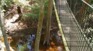 The Swinging Bridges On This Canopy Walk In South Carolina Might Be More Than You Can Stomach