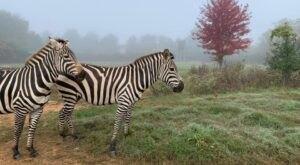 Take A Self-Drive Safari And Interact With Exotic Animals At Roer's Zoofari In Virginia