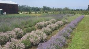 Get Lost In This Beautiful 48-Acre Lavender Farm In Ohio