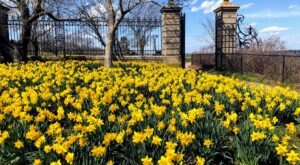 Take This Day Trip To The Most Eye-Popping Daffodil Fields In Rhode Island