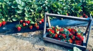 Take The Whole Family On A Day Trip To This Pick-Your-Own Strawberry Farm Near New Orleans