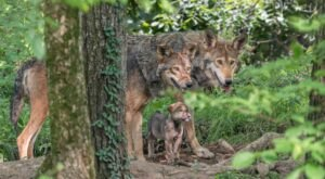 Spend The Day With Wolves At The Endangered Wolf Center In Eureka, Missouri