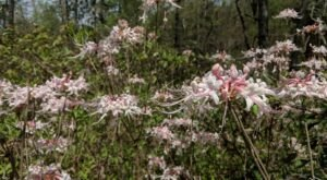 You Don't Want To Miss The Blooms Along The Wild Azalea Trail In Louisiana, The Longest Primitive Trail In The State