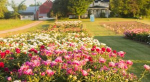 You'll Want To Visit Oh My Peonies, A Dreamy Peony Farm In Wisconsin This Spring