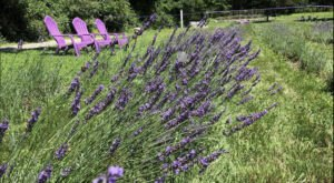 Get Lost In This Beautiful 5-Acre Lavender Farm In Massachusetts