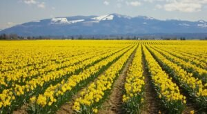 Skagit County, Washington Will Have Over 450 Acres Of Daffodils In Bloom This Spring