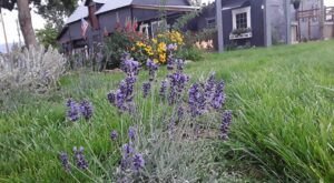 Get Lost In Beautiful Lavender Plants At The Lavender Farm In Colorado