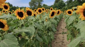 You Can Cut Your Own Flowers At The Festive Anawan Farm Sunflower Farm In Massachusetts