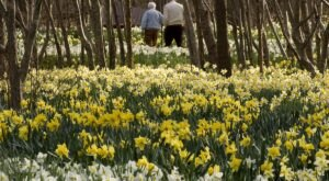 Parsons Reserve, A Daffodil Reserve In Massachusetts, Will Be In Full Bloom Soon And It's An Extraordinary Sight To See