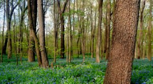 Virginia Bluebells Will Be In Full Bloom Soon In Illinois And It's An Extraordinary Sight