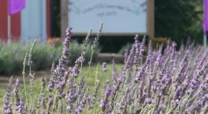 Get Lost In 4,000 Beautiful Lavender Plants At Loess Hills Lavender Farm In Iowa