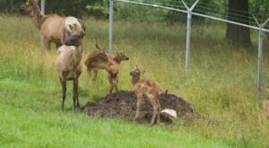 A Working Elk Farm With Plenty To Do And See, Wildlife Lakes Elk Farm In Iowa Is Truly A Must Visit Spot