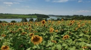 Take This Road Trip To The 5 Most Eye-Popping Sunflower Fields In Iowa