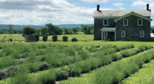 Get Lost In This Beautiful 80-Acre Lavender Farm In New York