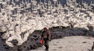 Every Year, Thousands Of Swans Fill Up This Minnesota Park, And It's Nothing Short Of Spectacular