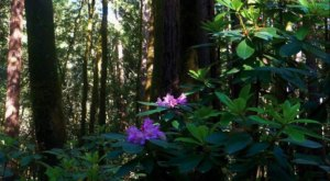 Every Spring, The Rhodendendron Bloom Brightens Up This Redwood Forest In Northern California