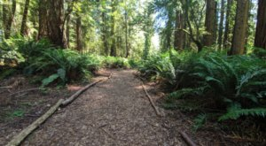 Take A Walk In This Hidden Grove Of 2,000-Year-Old Coast Redwoods In Northern California