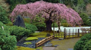 Portland Japanese Garden Has Some Of The Best Cherry Blossoms In The State