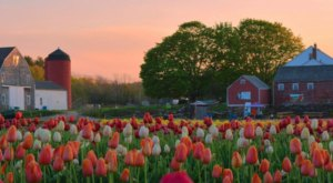 Wicked Tulips Flower Farm, A Tulip Farm In Rhode Island, Will Be In Full Bloom Soon And It's An Extraordinary Sight To See