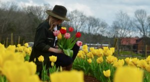 Most People Don't Know About This Magical Tulip Field Hiding Near Nashville