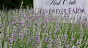 Get Lost In This Beautiful 2.5-Acre Lavender Farm In Georgia