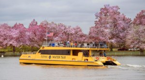 See Virginia's Beautiful Cherry Blossoms From A Scenic Water Taxi On The Potomac River