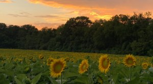 The Festive Sunflower Farm Close To Nashville Where You Can Cut Your Own Flowers