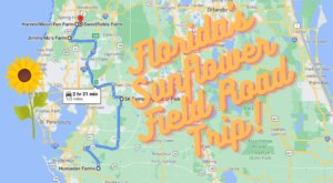 Take This Road Trip To The 5 Most Eye-Popping Sunflower Fields In Florida