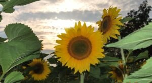 Get Lost In This Beautiful 14-Acre Sunflower Farm In Connecticut