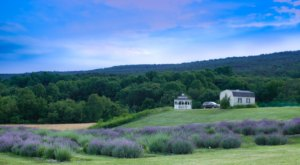 Get Lost In 2,600 Beautiful Lavender Plants At Springfield Manor In Maryland