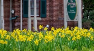 Daffodil Days In St. Michaels, Maryland Will Have Over 25,000 Daffodils In Bloom This Spring