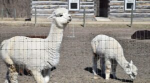 Stay In An Authentic Log Cabin On An Alpaca Farm In Illinois