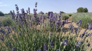 Get Lost In This Beautiful 120-Acre Lavender Farm In Arizona